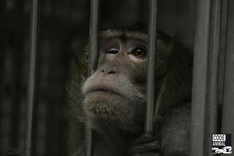 Élevages de primates de Niederhausbergen. Les responsables nient et se contredisent.