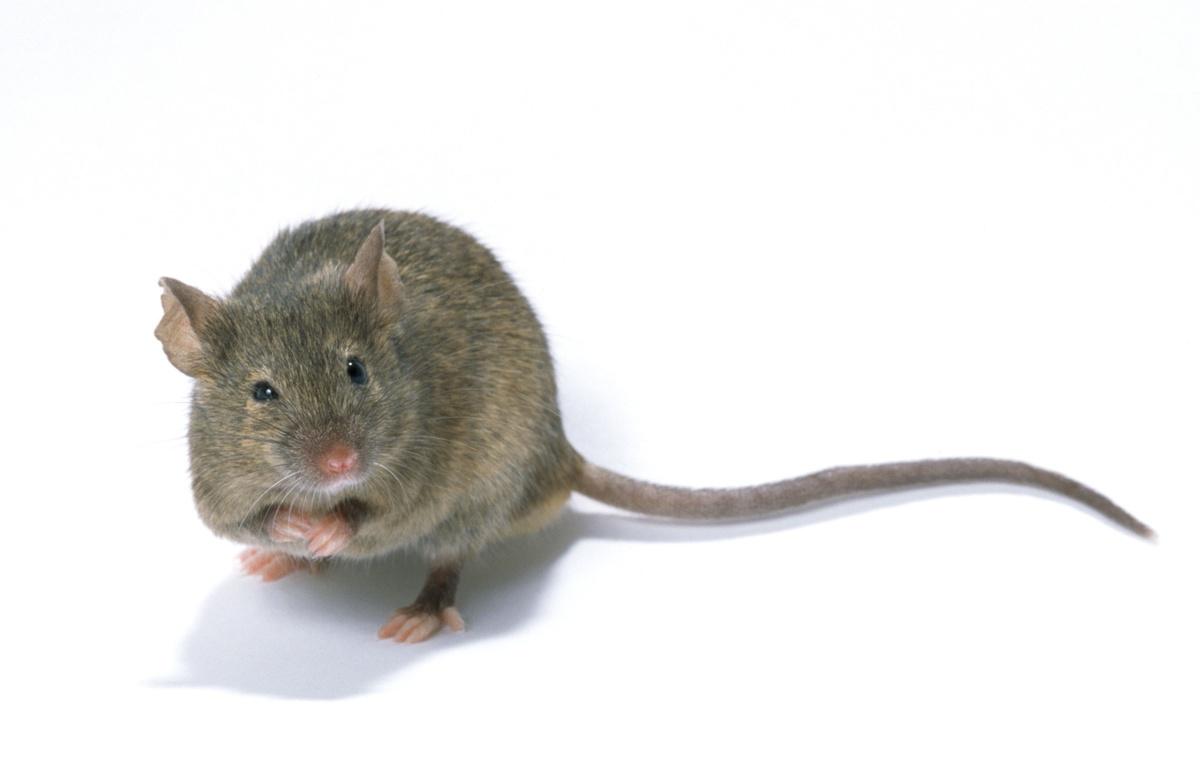Des images montrent la réalité de la recherche sur souris en France.